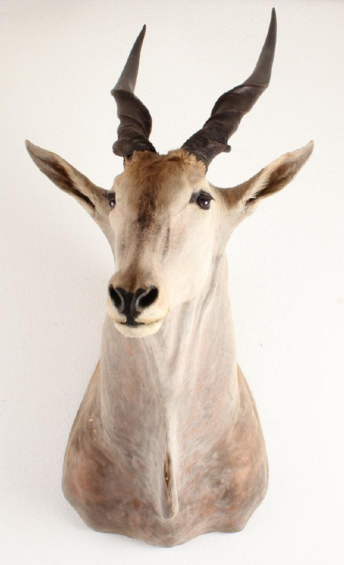 Large stuffed South African moose with antlers. With pr