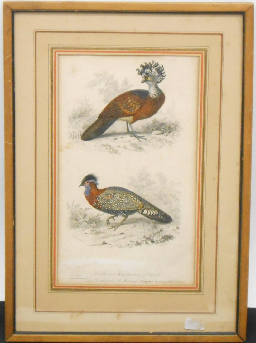 (2) EARLY AVIAN LIKELY HAND COLORED ENGRAVINGS