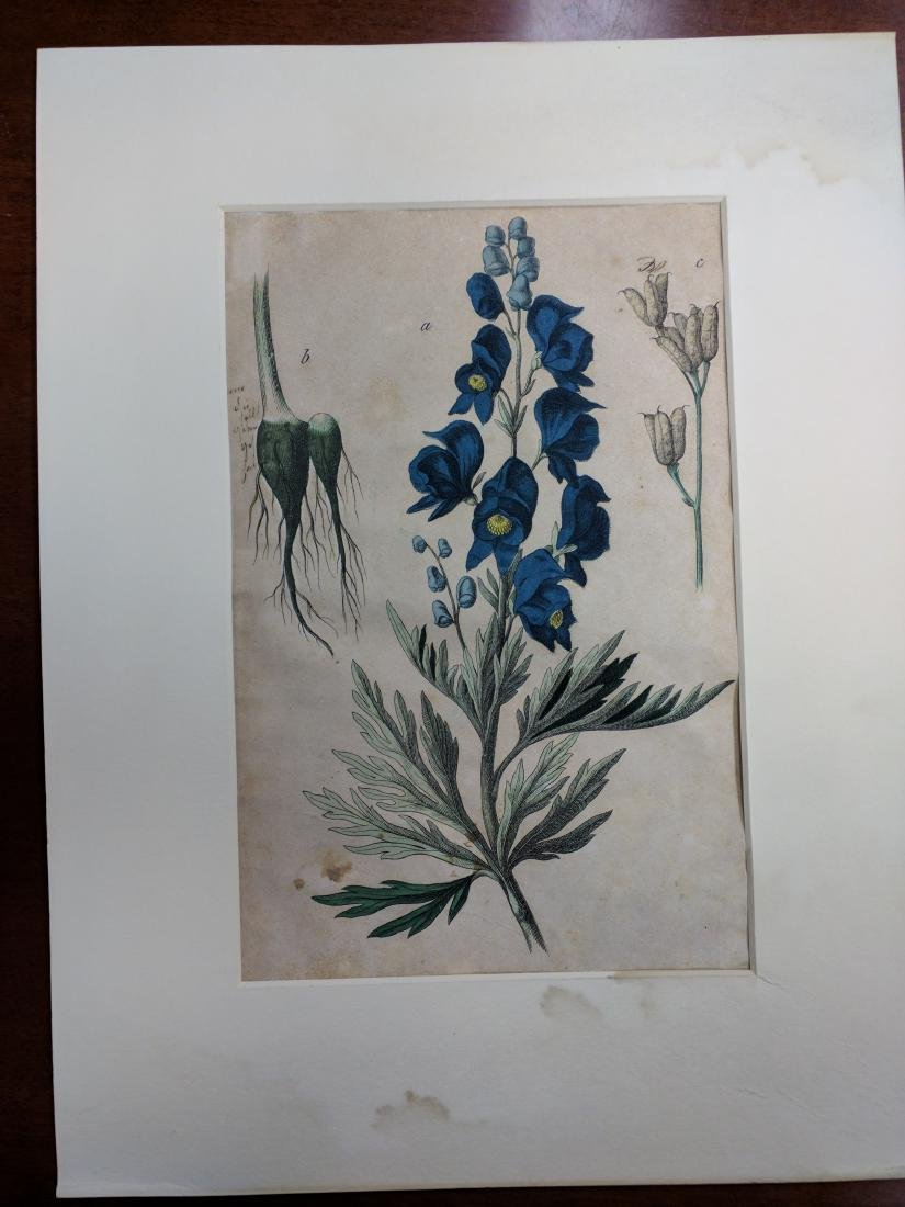 Hollyhocks , Engraving with Hand-Coloring on Wove