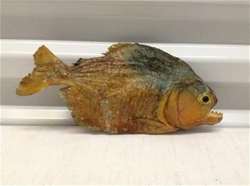 """Real Piranha 8 1/2"""" long"""