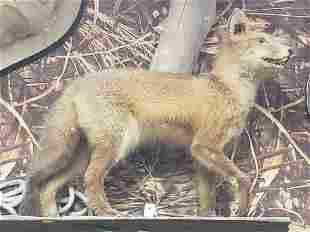 Mounted Fox taxidermy