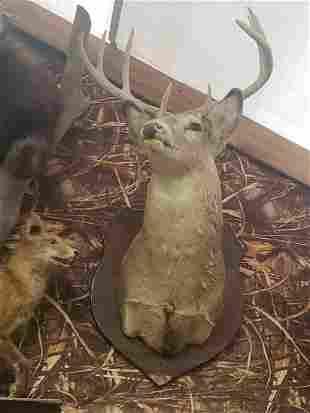 Mounted buck deer Taxidermy