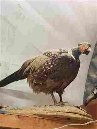 Mounted Pheasant taxidermy