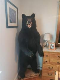Taxidermy black bear - approx. 5ft tall and weighs