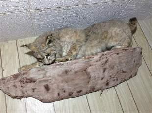 """Real Taxidermy Bobcat 39"""" long"""