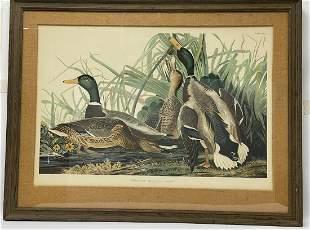 Hand Colored Audubon Mallard Ducks