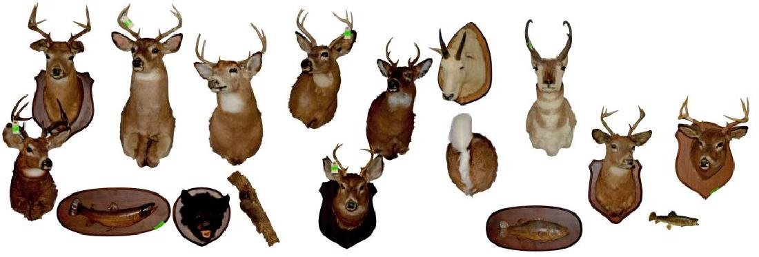GROUP OF 17 TAXIDERMY ANIMAL MOUNTS.