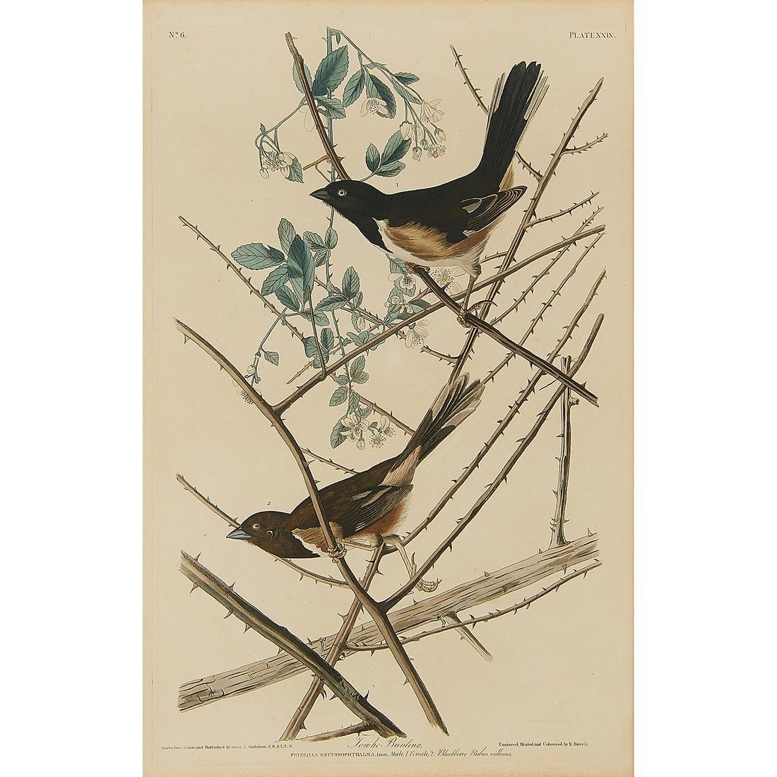 After John James Audubon, Towhee Bunting