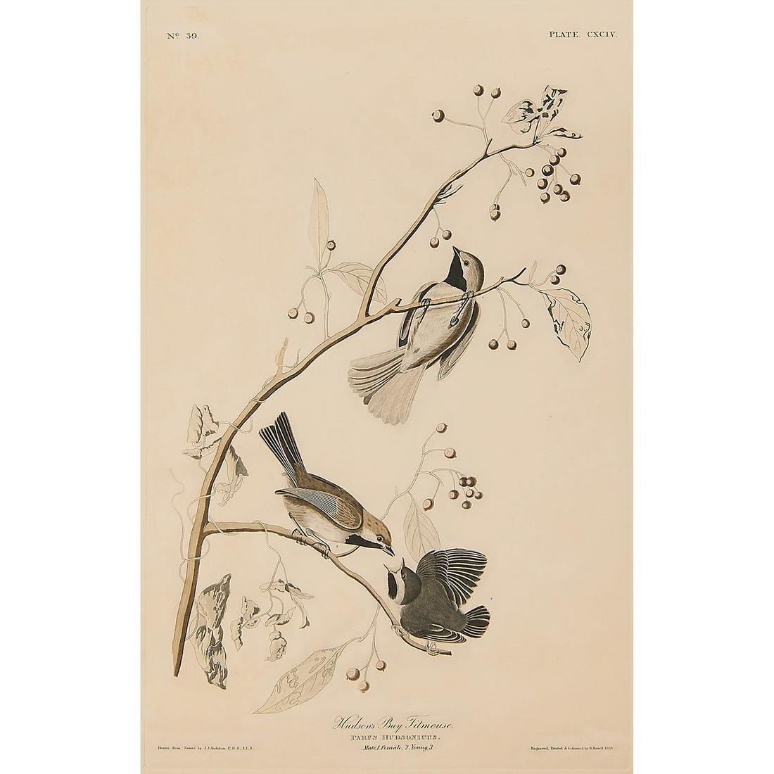 After John James Audubon, Hudson's Bay Titmouse