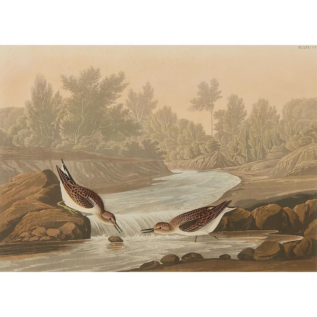 After John James Audubon, Little Sand Piper