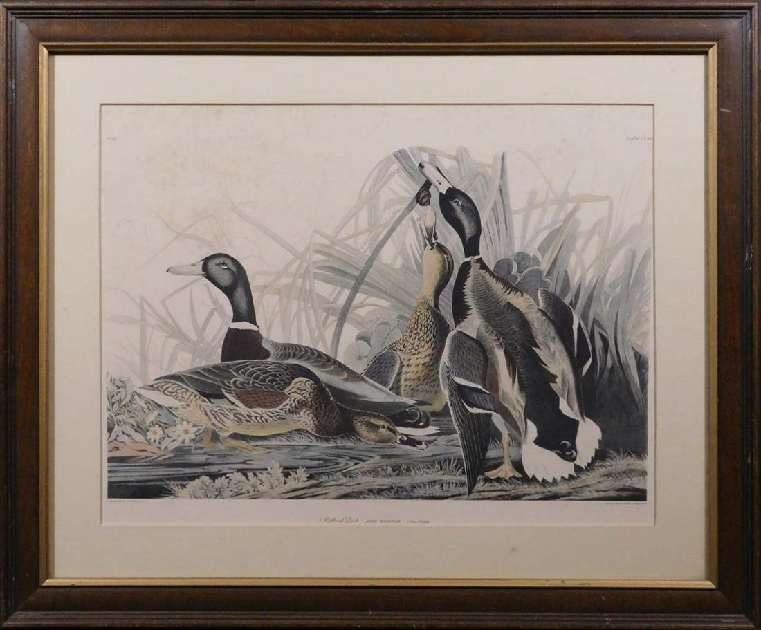 After J.J. Audubon: Mallard Duck, Anas Boschas