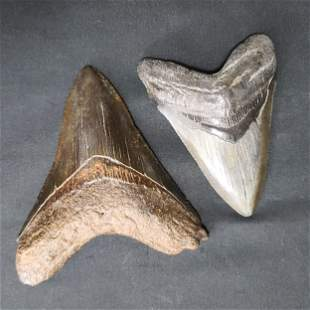 Lot of 2 Megalodon Shark Tooth