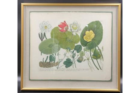 18th C Hand Colored Botanical Drawing In Shadow Box