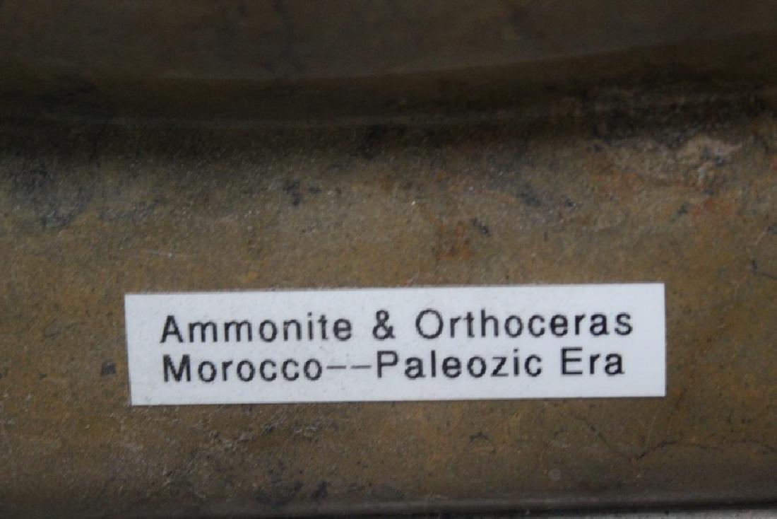 Paleozic Era Fossil - Morocco - 2
