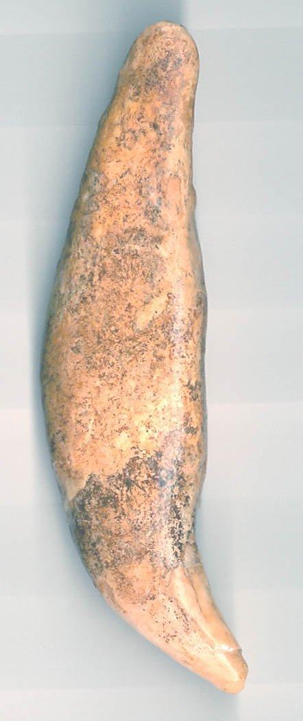 "7: 7.  4 1/8"" Prehistoric Bear Tooth.  Russia"