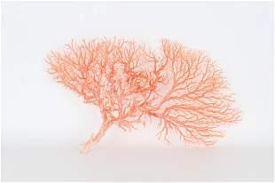 Large Angel Skin Coral Tree Speciman