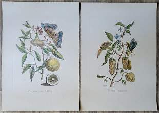 Vintage Engraving Hand Colored