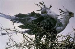 Robert Batemans At The Nest Secretary Birds Limite
