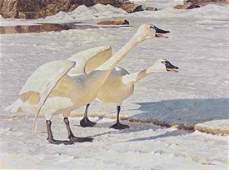 "Robert Bateman's ""Courting Pair - Whistling Swans"" Limi"