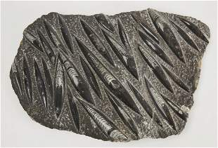 Large Fossil