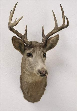 9 Point White Tail Deer Shoulder Mount