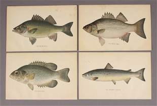 4 Assorted Fish Prints Bass Perch Salmon