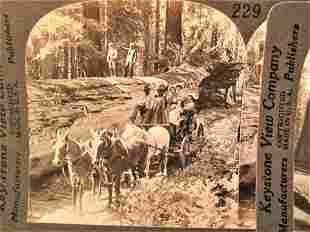 2 Antique California giant redwood stereoviews