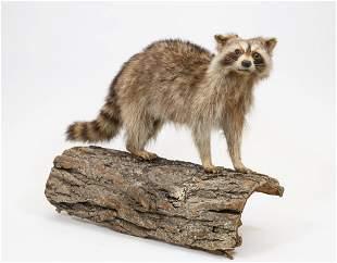 Raccoon Taxidermy Mount