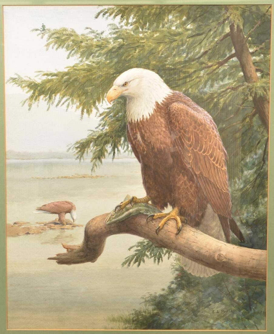 Earl L. Poole Watercolor Painting Bald Eagle.