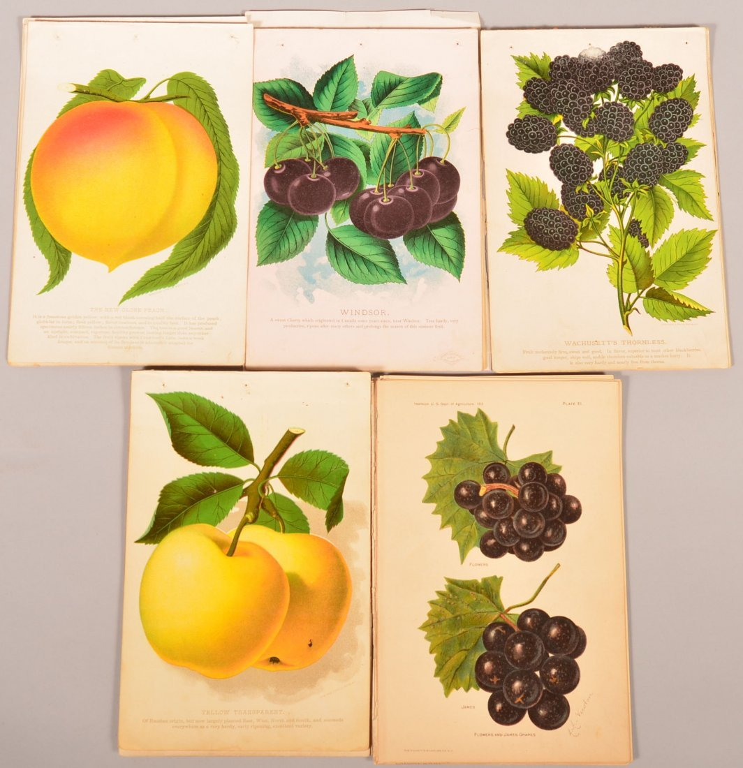 Lot of 45 Various Fruit Species Colored Lithographs.