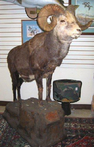 16: STONE'S SHEEP (ovis dalli stonei), full body trophy