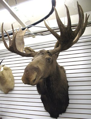 62: ALASKAN BULL MOOSE, trophy head mount with large ra