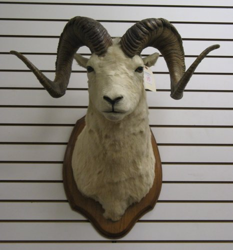 10: AN ALASKAN BIGHORN SHEEP, Dahl subspecies,  trophy