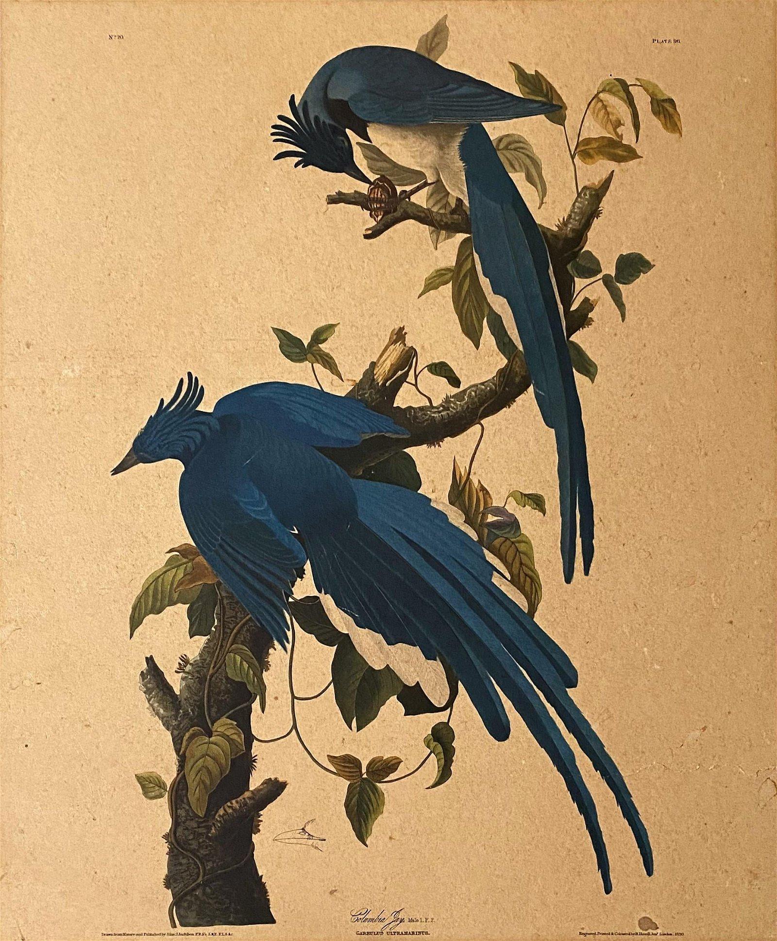 J.J Audubon F.R.S.F.L.S. Bird Print