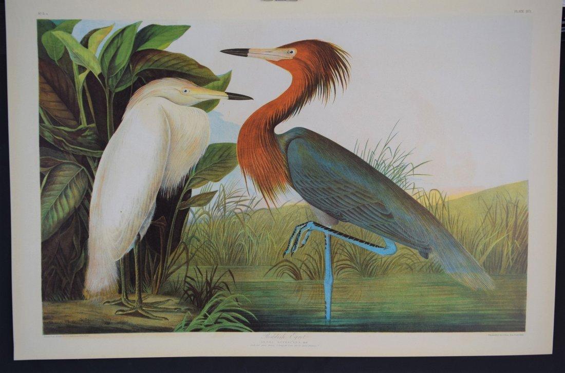 John James Audubon - Reddish Egret