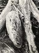 Ansel Adams - Stump, California 1959