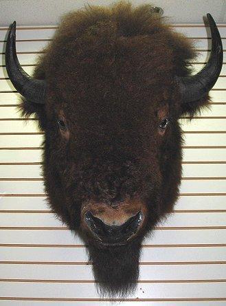 229: Large American Buffalo/Bison Head Mount Taxidermy - 2