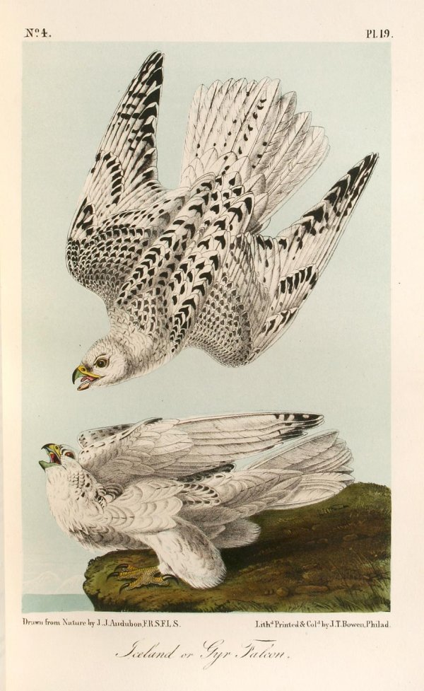 5: The Birds of America, from Drawings Made in the Unit