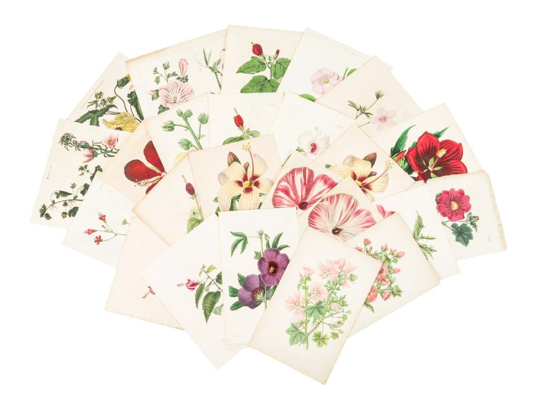 Color plates of the Hibiscus plant