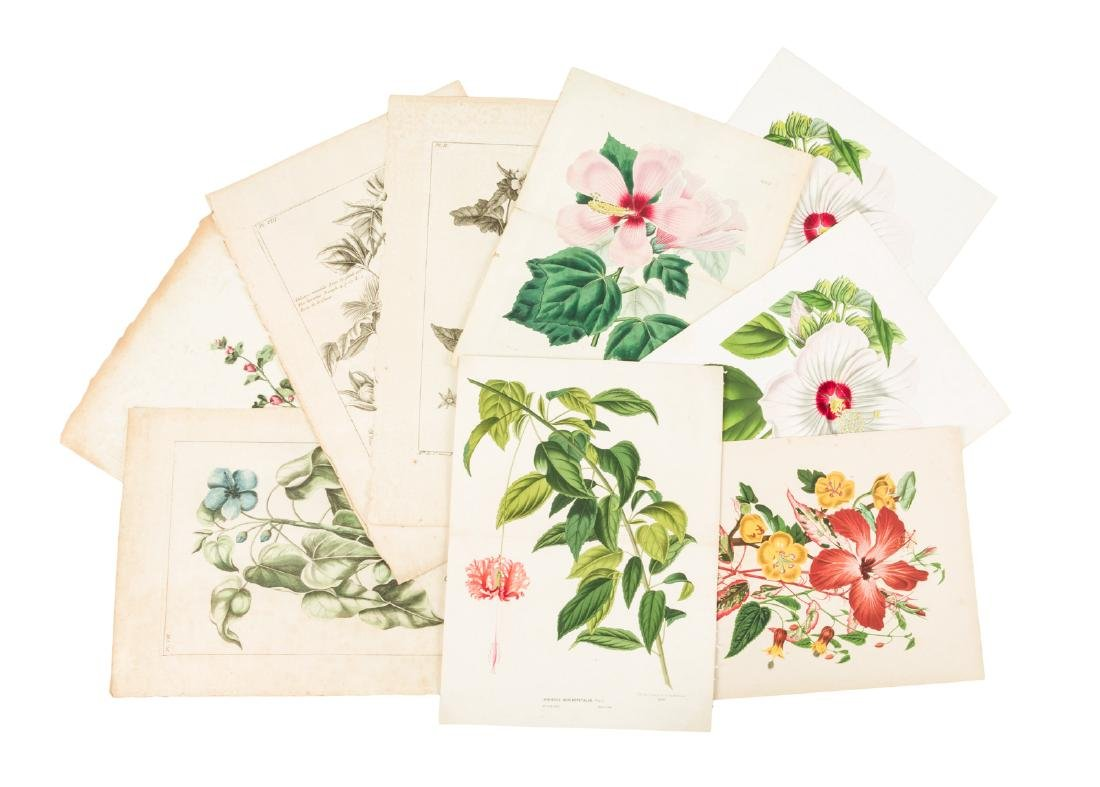 Color plates of the Hibiscus plant - 2