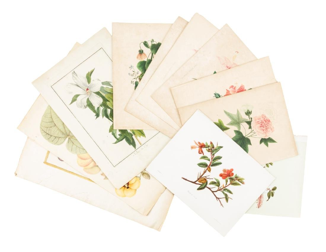 Color plates of the Hibiscus plant - 3