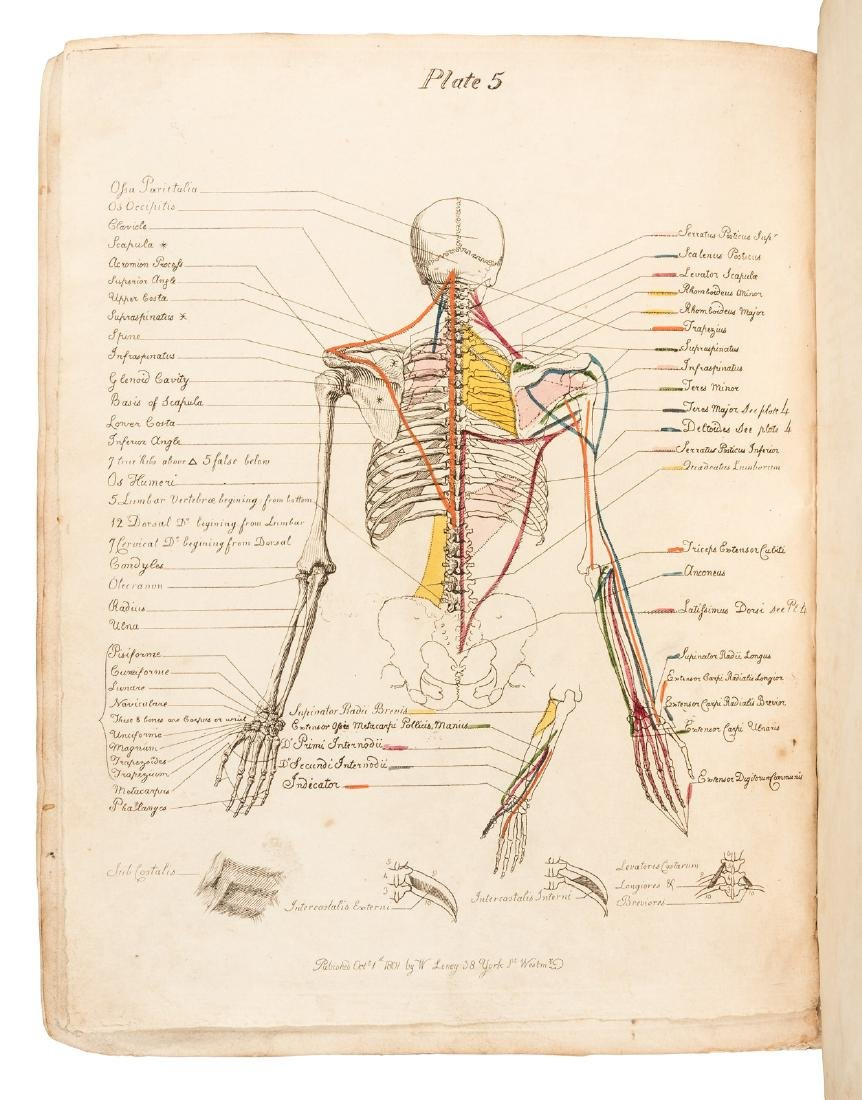 Muscles of the Human Body by J.C. Carpue