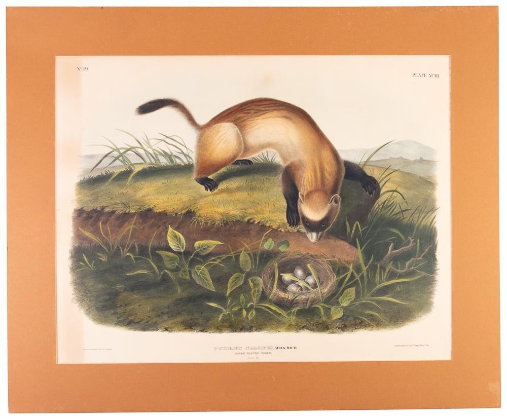 Audubon hand-colored litho, black footed ferret