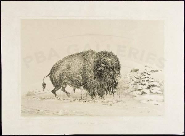 80: Wounded Buffalo lithograph by George Catlin