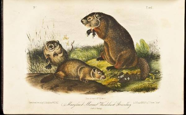 14: Volume 1 of Audubon's Quadrupeds 1854 Octavo Edn.