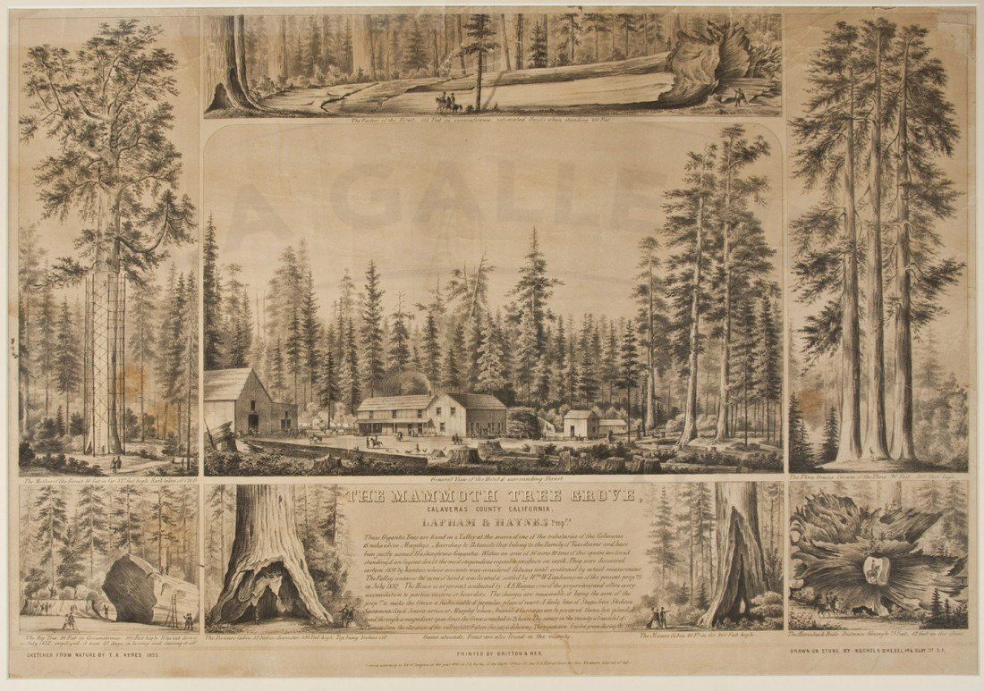 23: Mammoth Tree Grove lithograph 1855