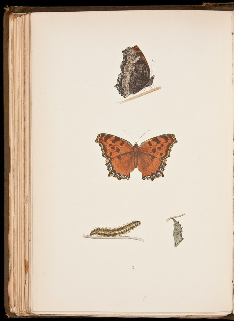 95: A History of British Butterflies - Color Plates