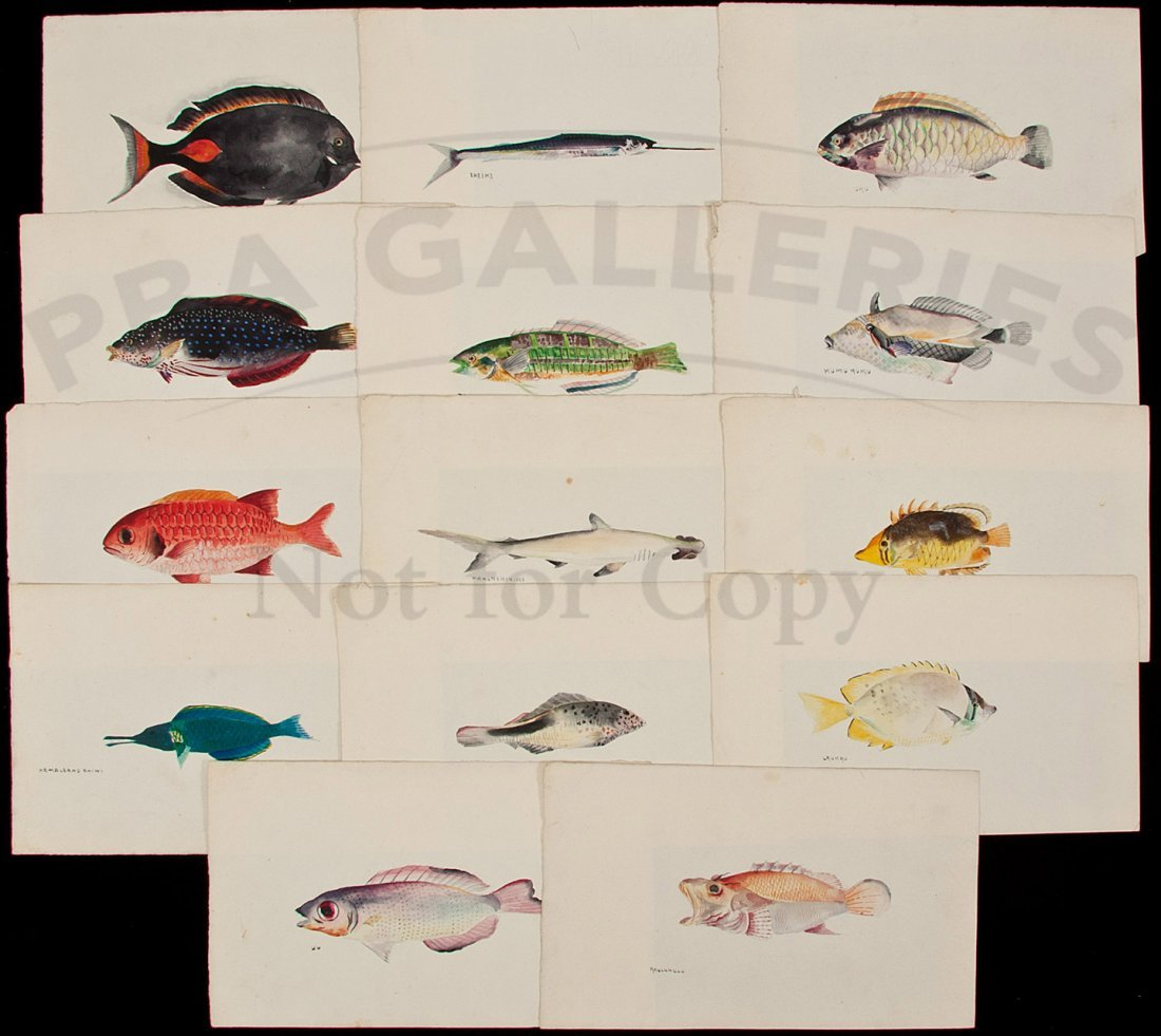 134: Thirteen watercolors of Hawaiian fishes
