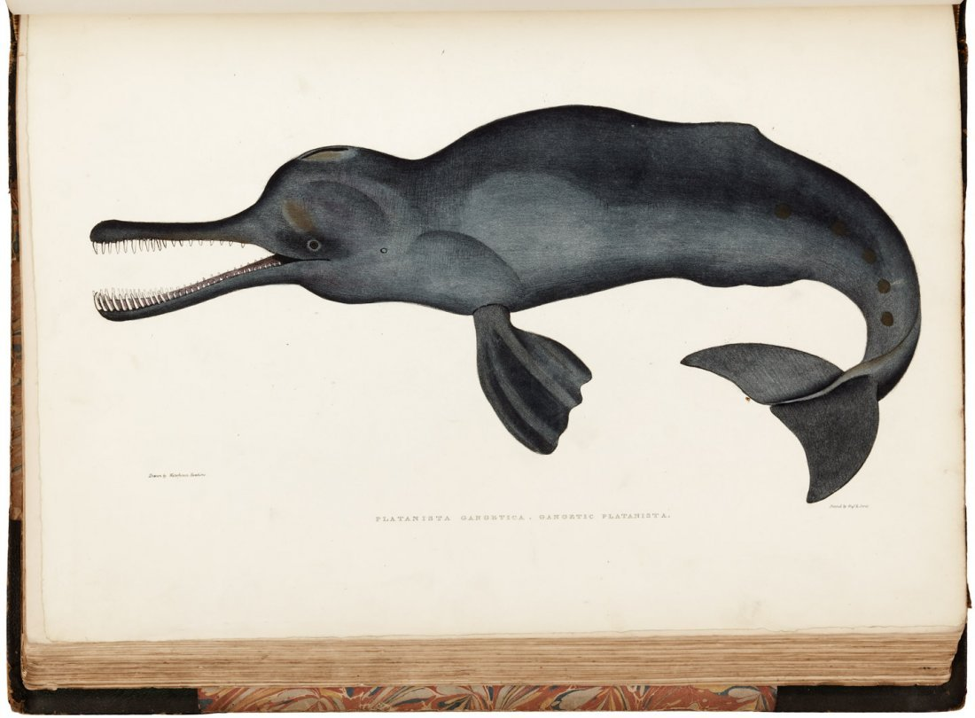 Gray's Illustrations of Indian Zoology 1830s