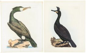 Large Water Birds From Selby's British Ornithology